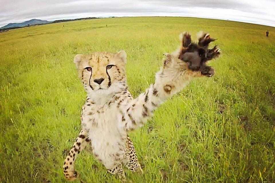 Imagem de A natureza não perdoa! Veja 6 vídeos de animais atacando drones no tecmundo