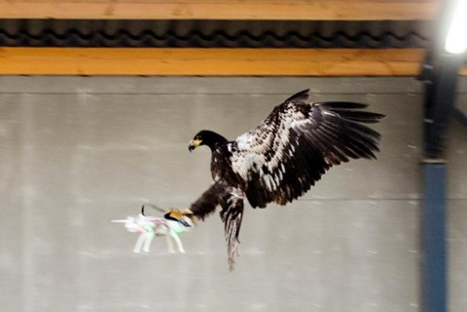 Imagem de A polícia holandesa está usando águias treinadas para destruir drones no tecmundo
