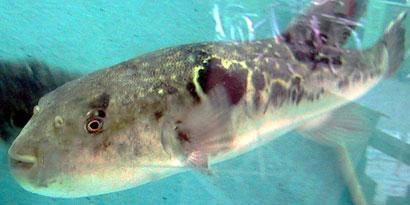 Imagem de Como é a morte por veneno de baiacu? no site TecMundo