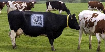 Imagem de Real ou fake? Fazendeiro pinta QR-Code em vaca no site TecMundo