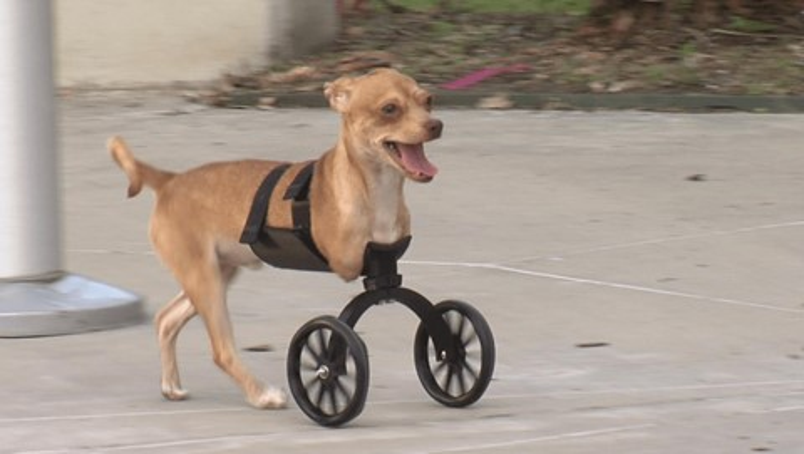 Imagem de Rodas feitas em impressora 3D dão qualidade de vida para cães deficientes no tecmundo